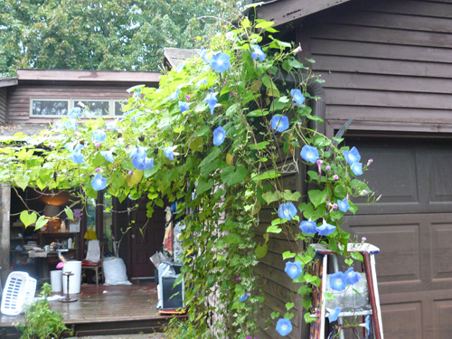 Morning glories in all their glory