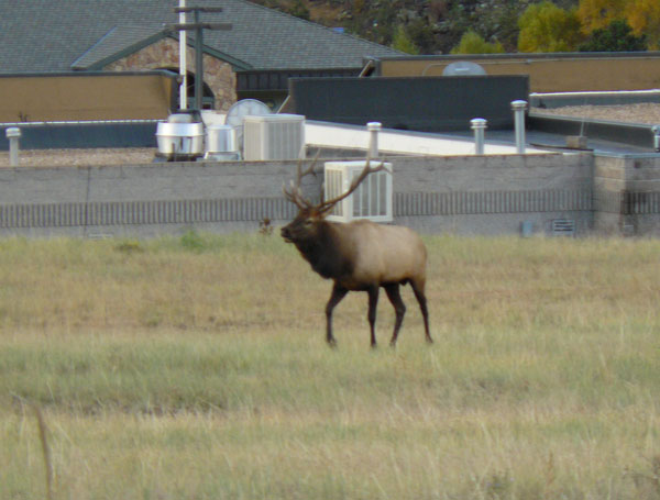 An elk on the front lawn of the Stanley Hotel in Estes Park, Colorado