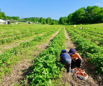 Strawberry Picking at Thompson-Finch Farm in New York