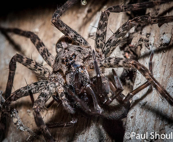 wolf-spider-northampton-Mass.