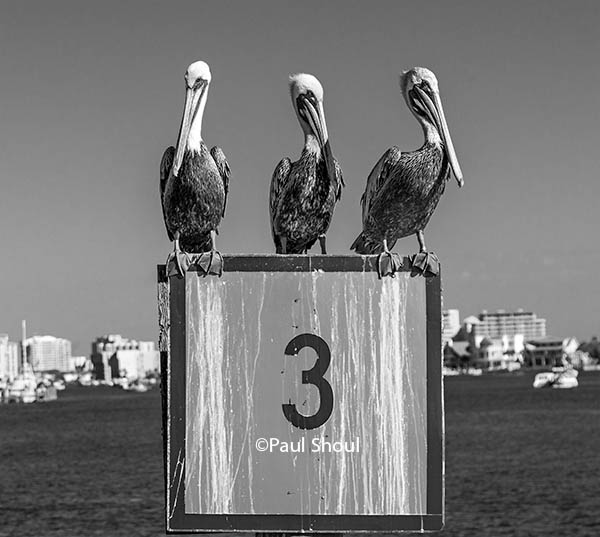 three pelicans on a 3 sign destin florida