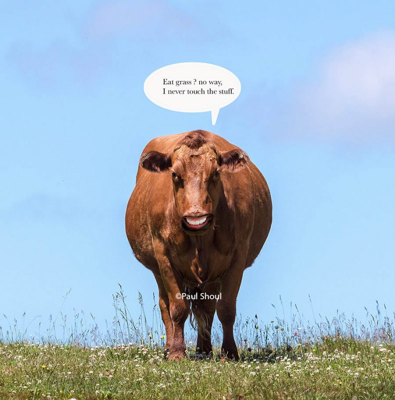 cows thoughts on grass fed beef