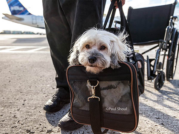 travel with pets. dog waiting to board a plane, San Juan Puerto Rico