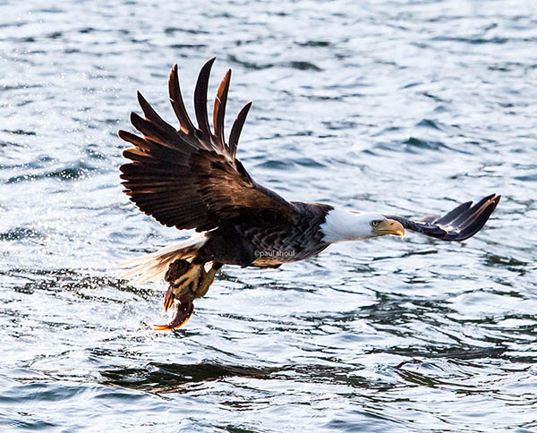 eagle catching a sculpt fish off the coast of inverness cape breton nova scotia