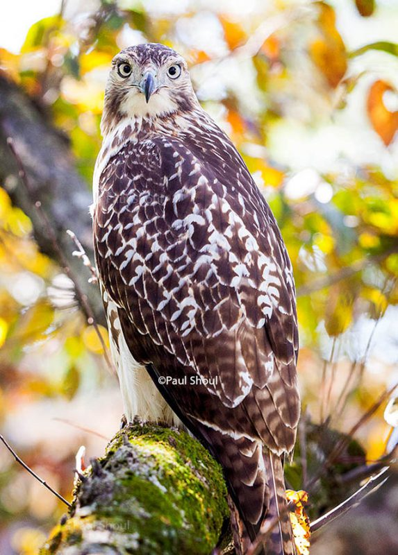 red-tailed-hawk-northampton-ma=new-england