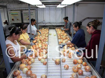 immigrant workers sorting onions idaho