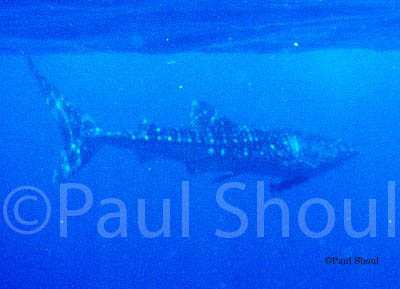 whale shark in placencia belize