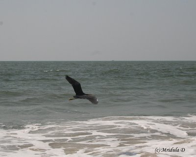 Sea Bird at Surathkal